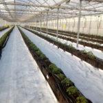 Cultivo-de-tomate-1