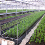 Instalaciones para flor lilium